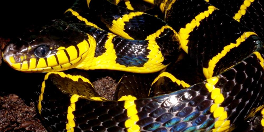 FLACCID201415-1000x500-Mangrove Snake